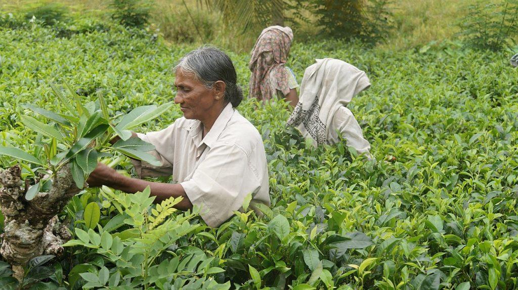 Teepflückerinnen in Sri Lanka