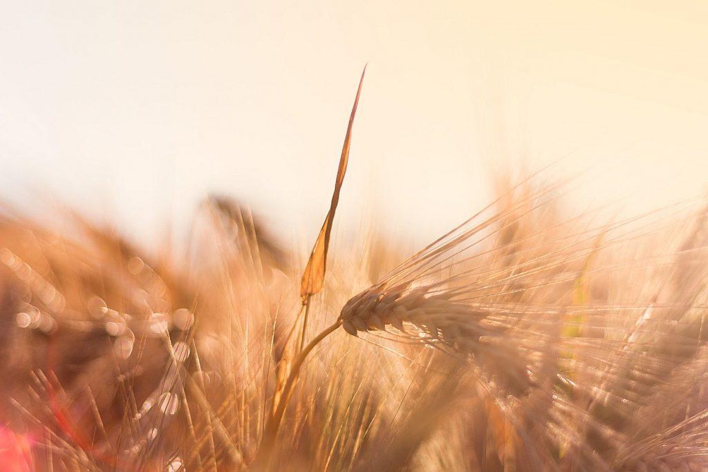Einige Gerstenähren auf einem Feld im Gegenlicht