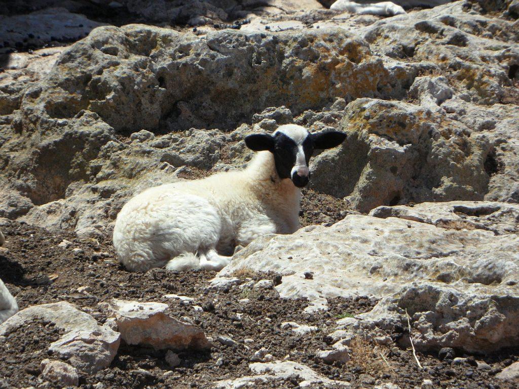 Ein verlorenes Schaf zwischen Felsen