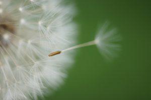 Löwenzahn mit wegfliegendem Samen
