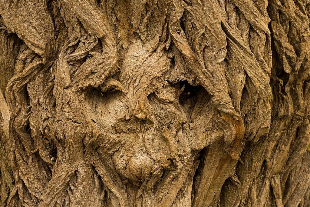 """Ein Leben """"in Kräften"""": Ein Gesicht in der Borke eines alten Baumes"""