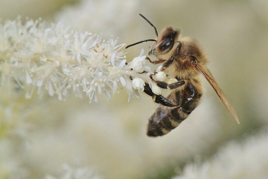 Alle Geschöpfe sind von Gott beseelt: Eine Biene bestäubt eine filigrane weiße Blüte