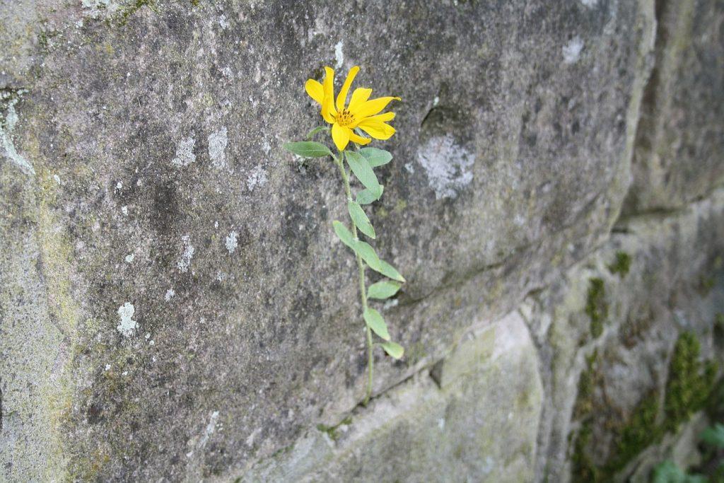 Geblüht wie eine unauffällige Blume: eine gelbe Blume wächst aus einer Mauerritze heraus.