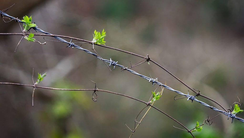 """""""Die Güte des HERRN im Lande der Lebendigen"""": Grüne Triebe winden sich um Stacheldraht"""