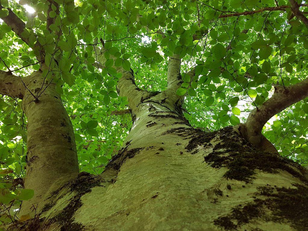 Der Lohn der Gerechten: Blick von unten an einem breiten Baumstamm entlang nach oben in die grüne Baumkrone