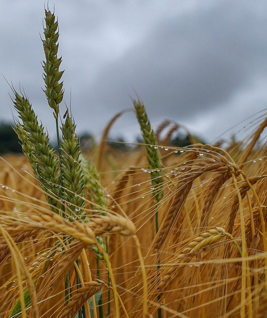 Nasses Korn wird wieder trocken: Getreidehalme in einem Kornfeld, die im Regen nass geworden sind
