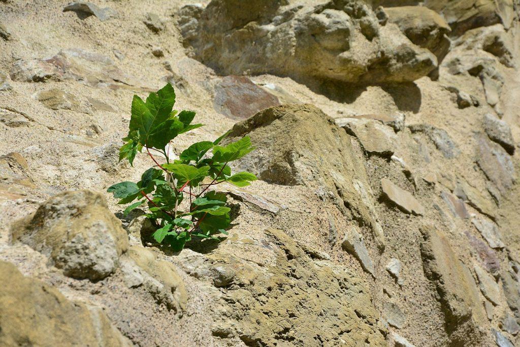 Sich nicht unterkriegen lassen: Eine Pflanze wächst aus felsigem Gestein heraus