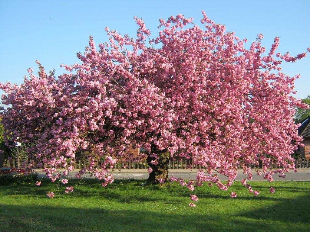 """""""Selig sind die Friedfertigen"""": Ein großer rosa blühender Kirschbaum auf einer grünen Wiese unter blauem Himmel"""