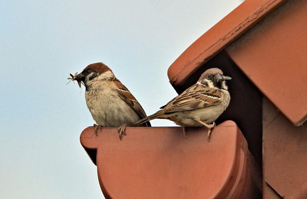 Zwei Spatzen in einer Dachrinne mit Futter für ihre Jungen im Schnabel