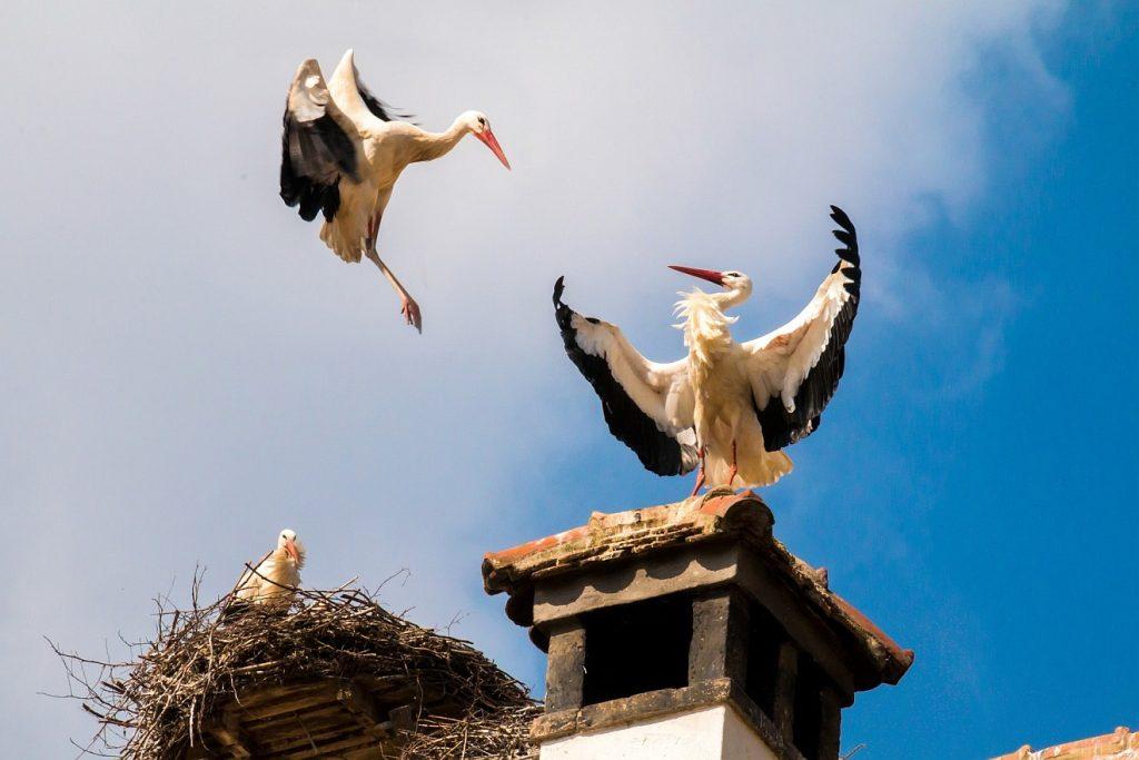 Die Vögel unter dem Himmel bauen Nester - zwei Storcheneltern im Anflug auf ihr Nest mit ihrem Jungen