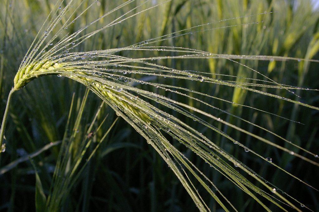 Die Ernte der Tränensaat: Ein Gerstenhalm mit Regen- oder Tautropfen vor einem Gerstenfeld