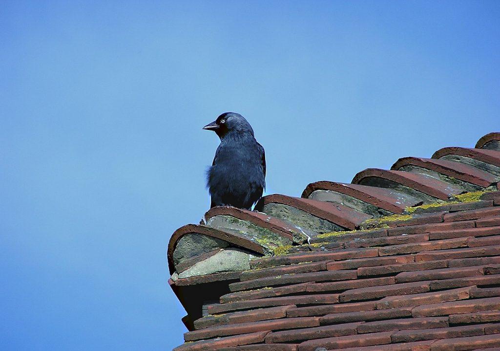 Der einsame Vogel auf dem Dach - eine Amsel sitzt auf einem Dach und blickt in die Weite unter einem blauen Himmel