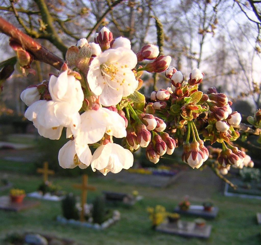 Kirschblütenzweig über Gräbern auf dem Friedhof am Rodtberg in Gießen