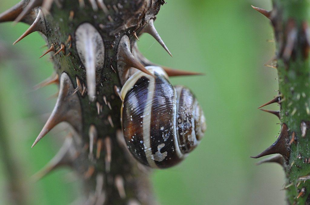 Eine Schnecke ist einen dornigen Zweig hochgeklettert - für sie ist das wie die Überwindung von einem ganzen Dornwald!