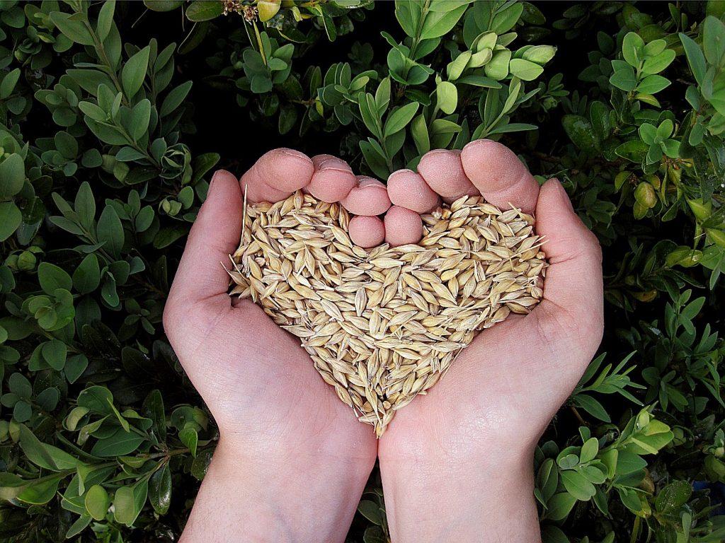 Getreide in zwei Händen, wie ein Herz geformt - Brotwunder?