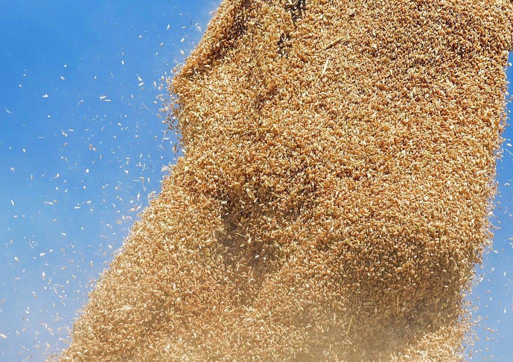 Weizenkörner, die aus dem Mähdrescher herausgepustet werden