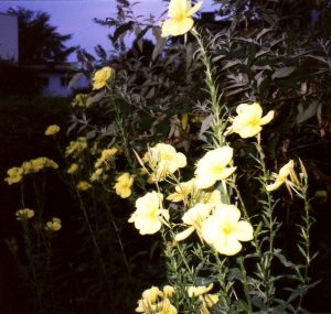 Nachtkerze (Oenothera)