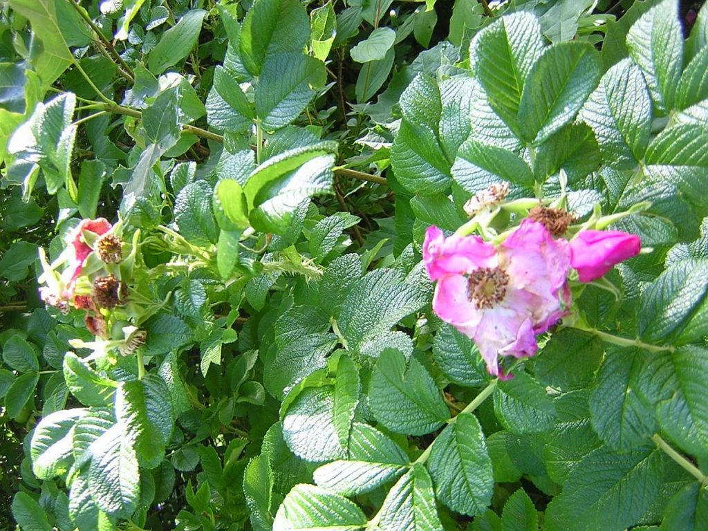 Wilde Rose - verblühte Blüten