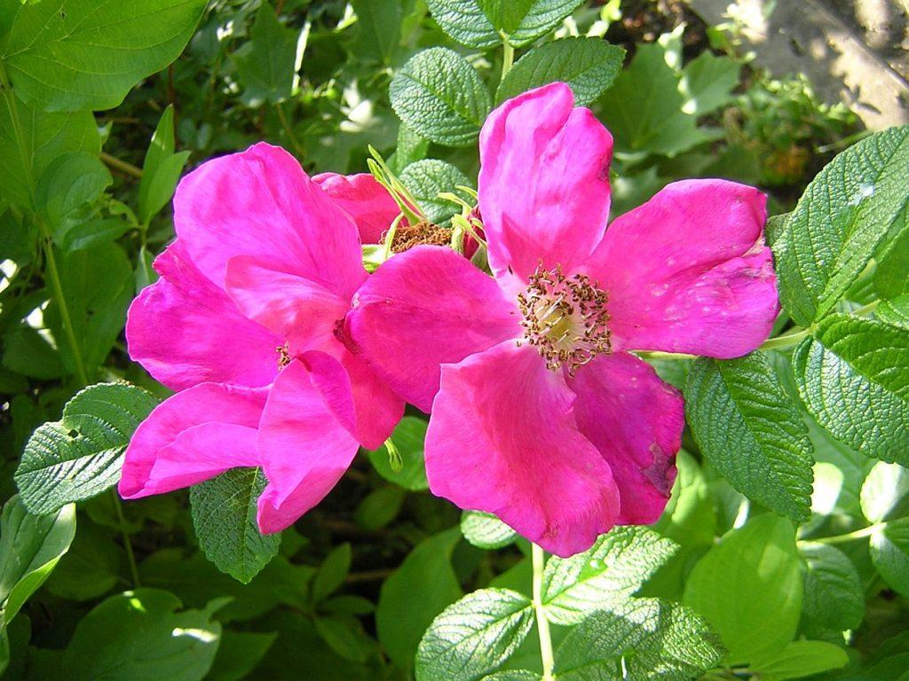 Wilde Rose mit schönen Blüten in pink