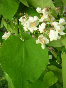 Pflanze mit großen Blätter und kleinen weißen Blüten