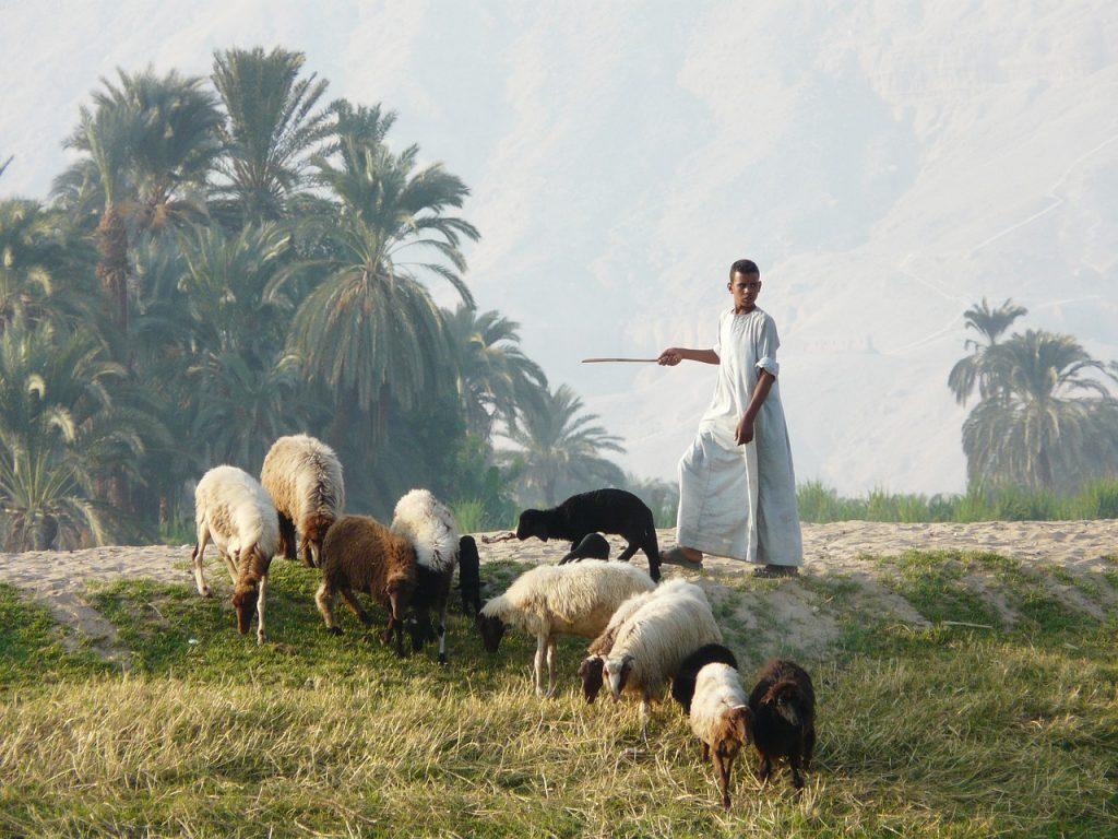 Hirte mit einer Herde sehr unterschiedlicher Schafe in Luxor, Ägypten