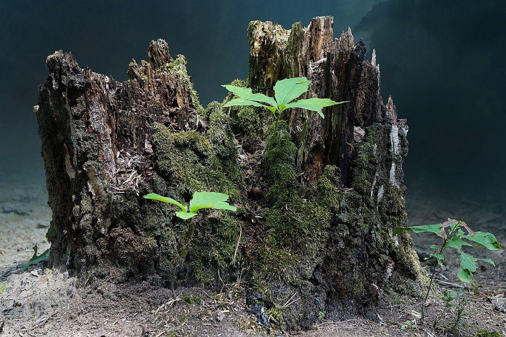 Ein Baumstumpf mit zwei neuen Trieben