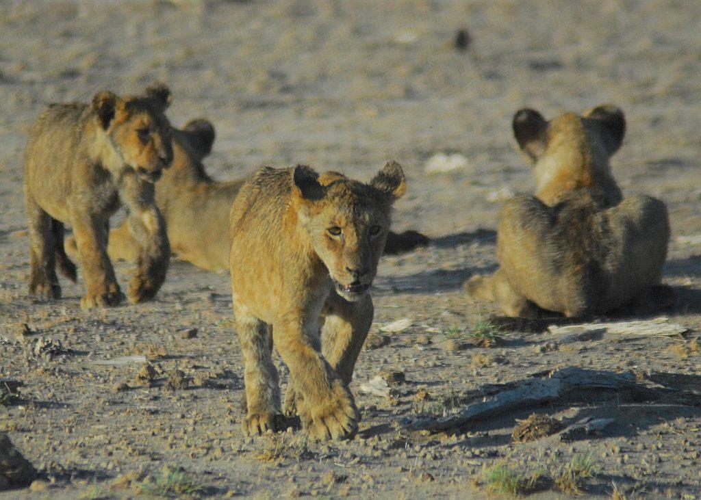 Junge Löwen in Kenia