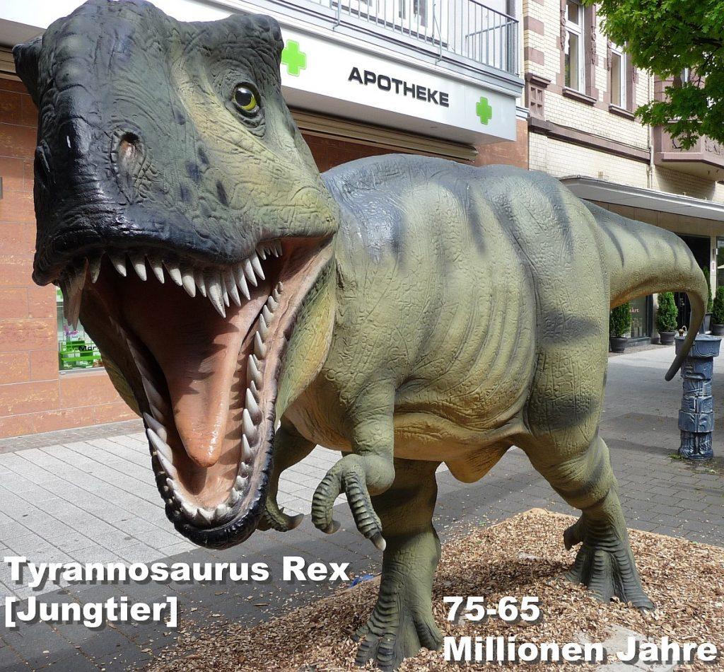 Den Tyrannosaurus Rex (abgebildet ein über mannshohes Jungtier) gab es vor 75-65 Millionen Jahren.