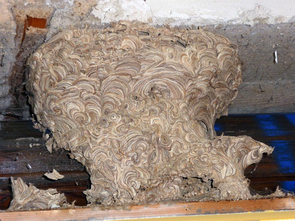 In einem Rollladenkasten fand sich beim Umbau des Untergeschosses dieses Wespennest
