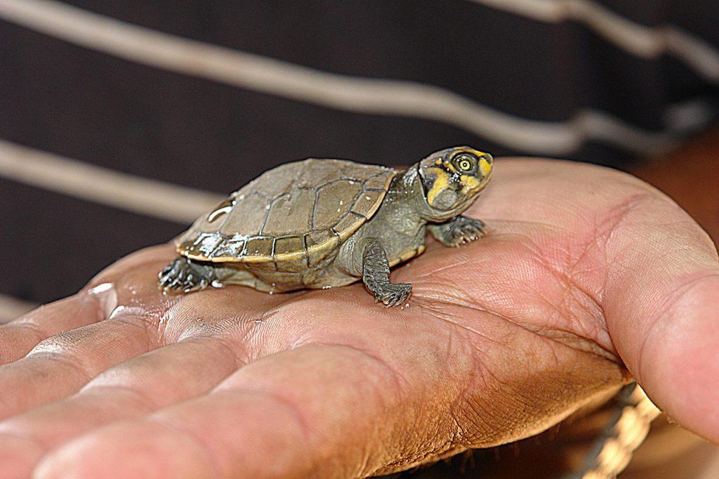 Eine kleine Schildkröte auf einer großen Hand