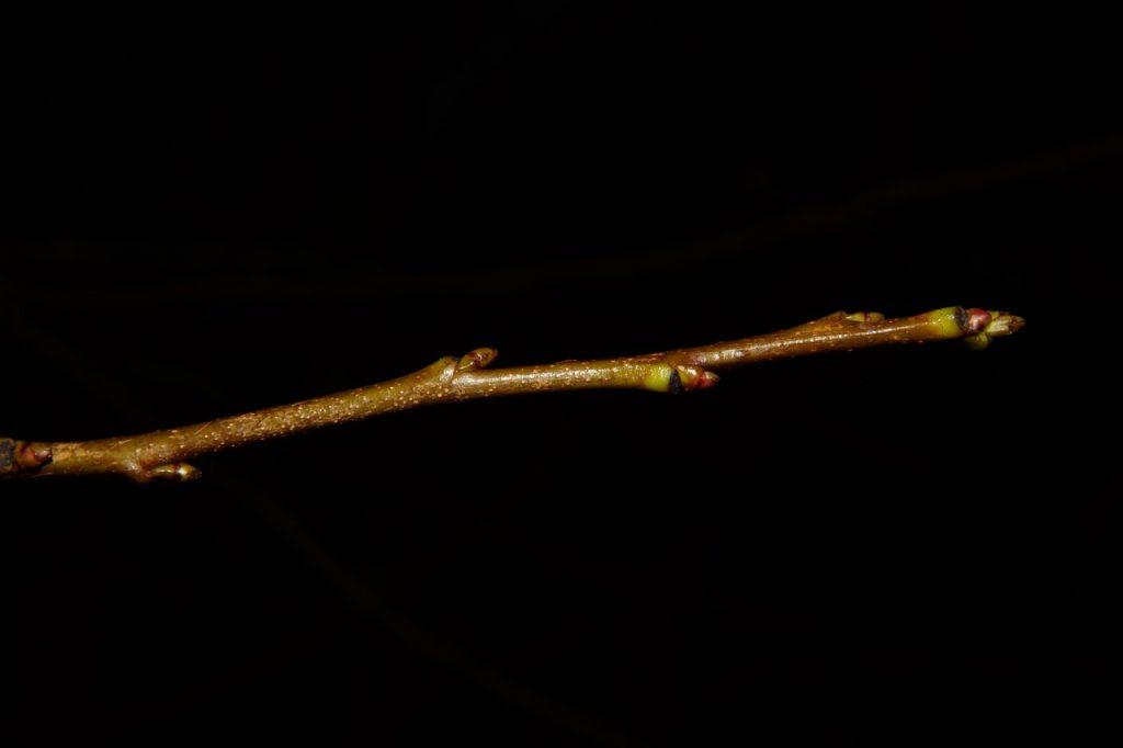 Kleiner Zweig mit Knospen