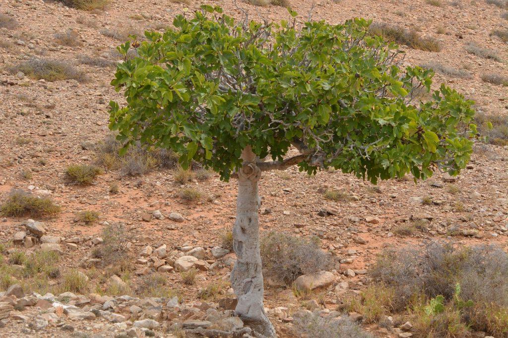Ein Feigenbaum