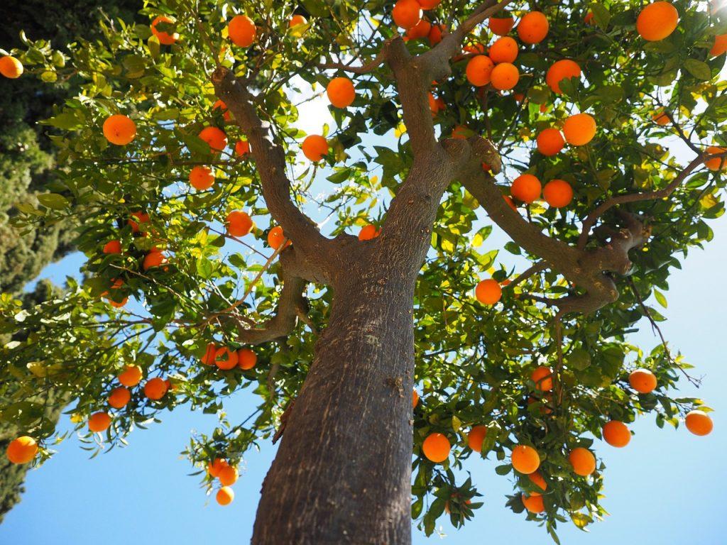 Orangenbaum mit vielen Früchten