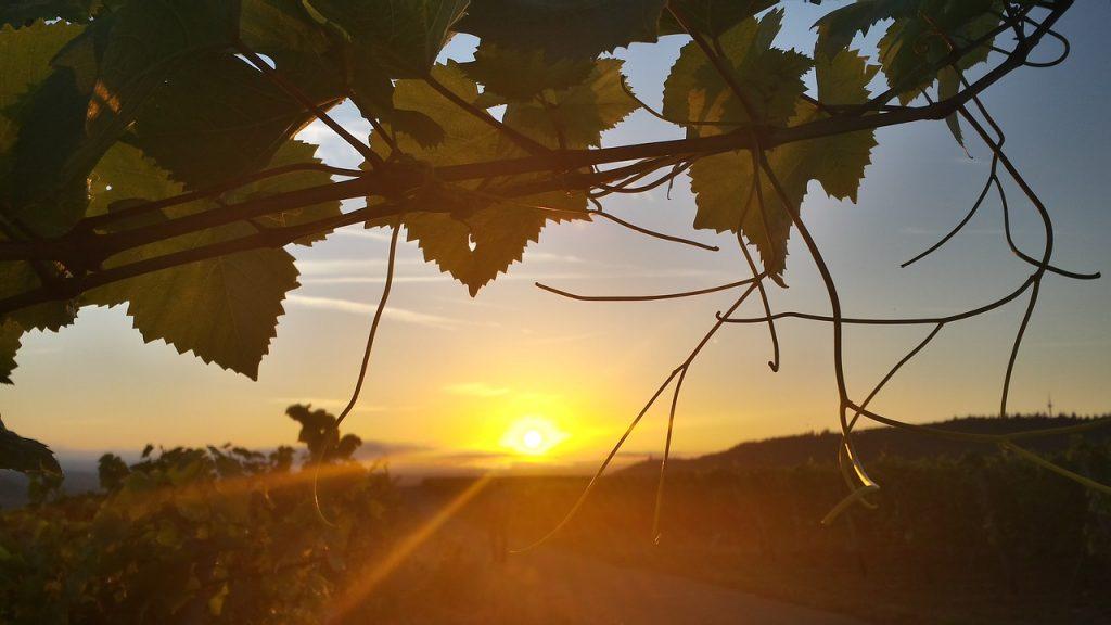 Sonnenaufgang im Weinberg