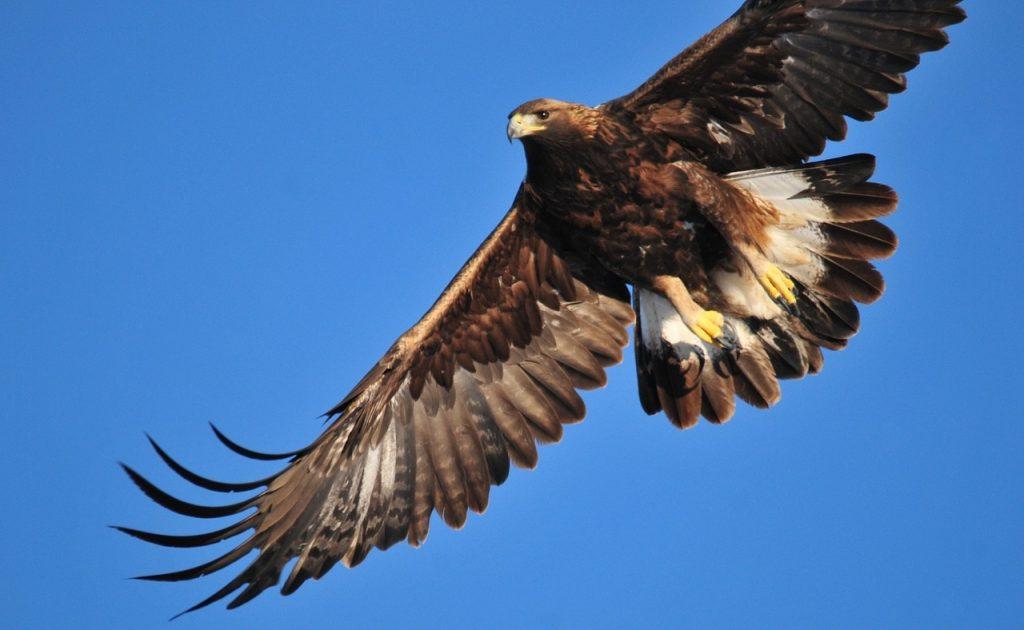 Steinadler fliegt mit ausgebreiteten Flügeln vor blauem Himmel