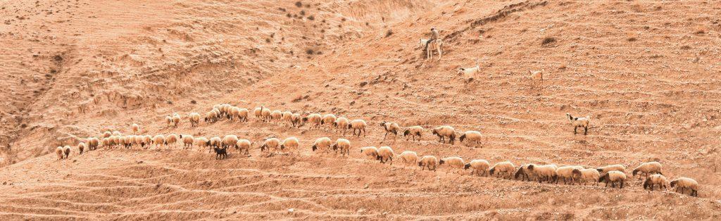 Schafherde, begleitet von Schäfer und Hund, in einer Wüste in Israel