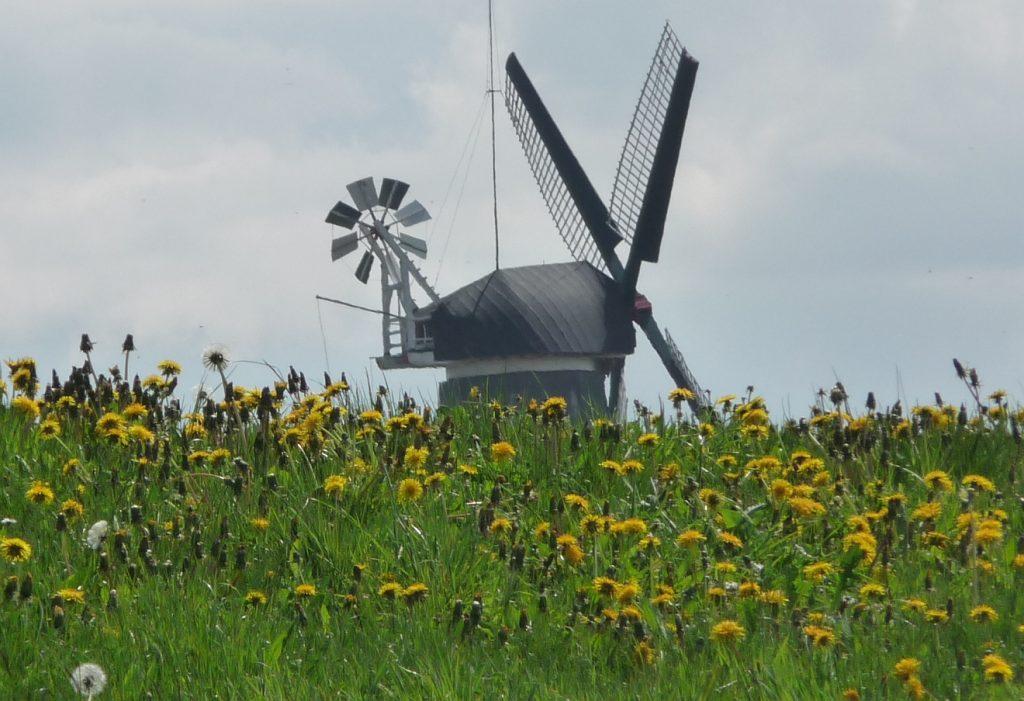 Eine Windmühle von Greetsiel hinter einer Wiese mit Löwenzahn