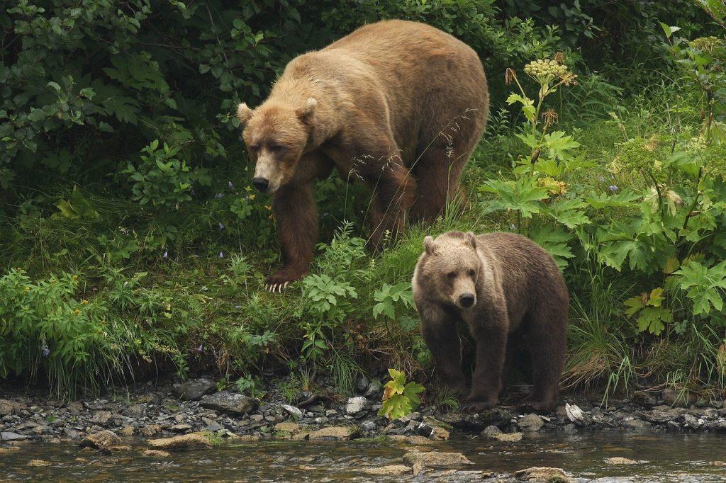 Zwei Kodiak-Bären kommen aus dem Wald an einen Fluss