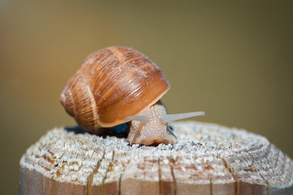 Eine Schnecke wagt sich heraus aus ihrem Schneckenhaus