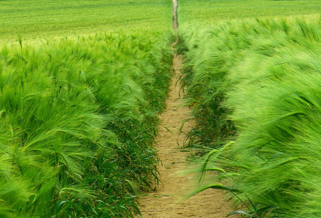 Ein Weg, der durch einen Getreideacker hindurchführt