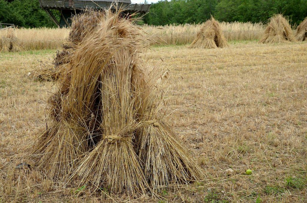 Sterben als Ernte: Garben, die auf einem abgeernteten Getreidefeld aneinandergelehnt stehen