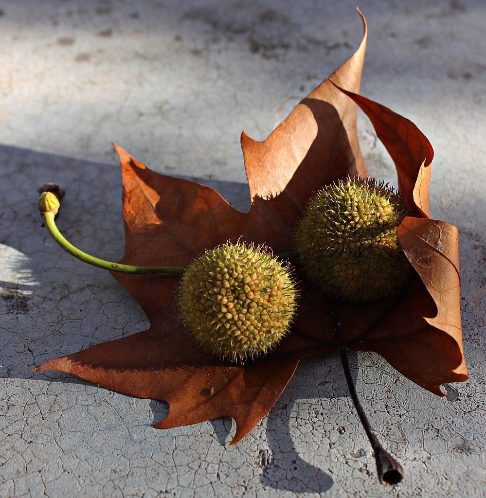 Zwei Früchte einer Platane auf einem herbstlichen Blatt