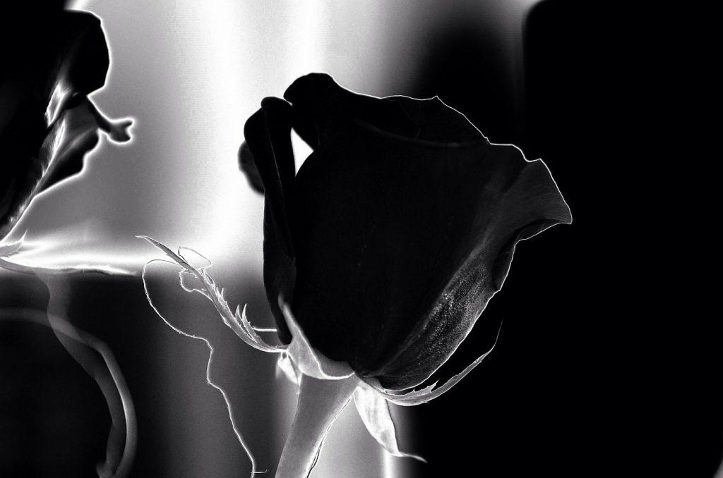 """Die """"Seele der Familie"""" ist gestorben: eine schwarze Rose als Symbol der tiefen Trauer"""