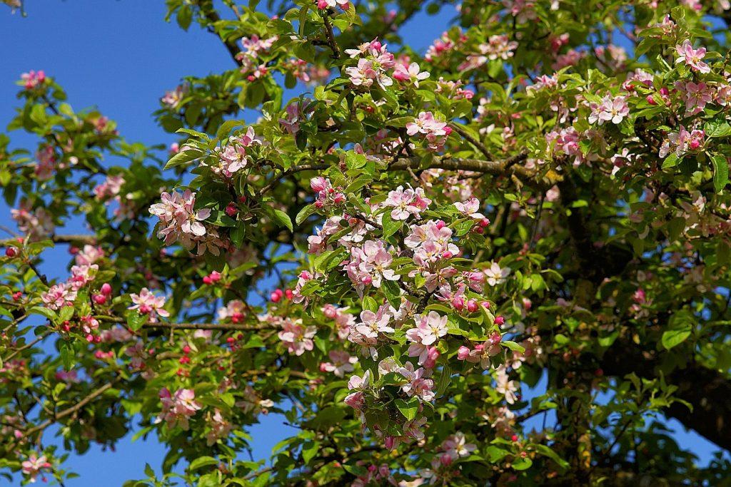 Der Apfelbaum in seiner Blüte erinnert an den Lebensbaum des Paradieses